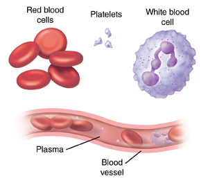 Red blood cells, platelets, and white blood cell. Cross section of blood vessel showing blood cells in plasma.